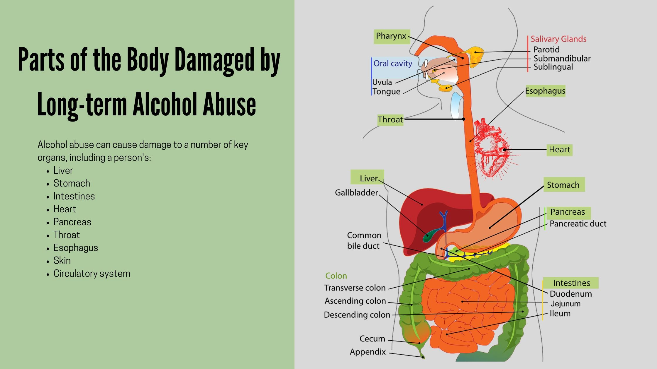 Alcohol's long term effects on the body
